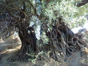 Mithi-Olivenbaum